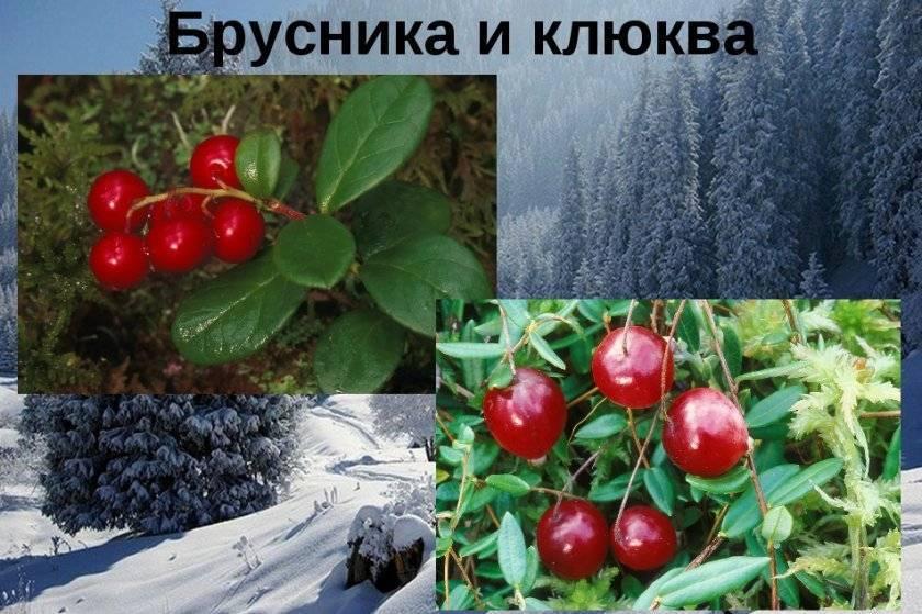 Что полезнее клюква или брусника, как применять ягоды ичто сними готовить