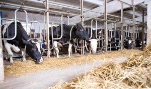 Отек у коровы под челюстью