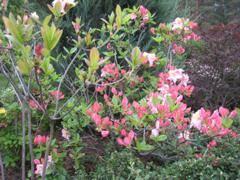 Рододендрон сatawbiense album: описание и особенности выращивания