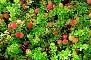 Сорта крупноплодной клюквы: характеристика и выращивание