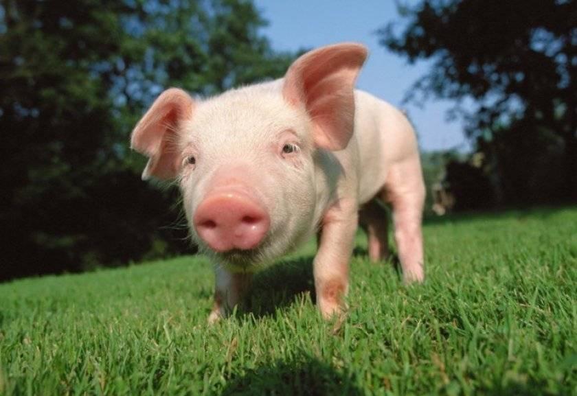 Как правильно и быстро определить вес свиньи в домашних условиях