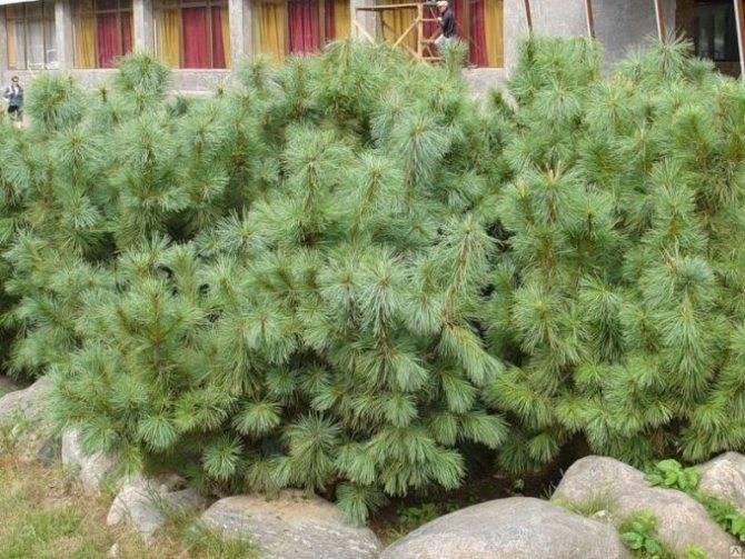 Сосна кедровая (47 фото): описание корейского кедра и других видов. отличия от обычного кедра. белый налет и другие болезни. посадка и уход
