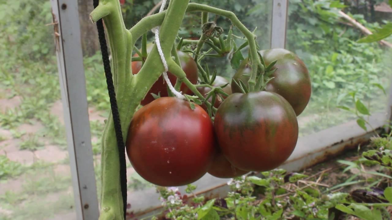 Томат черный принц — агротехника, высадка, выращивание и идеи по применению. 115 фото и видео ухода за черным помидором