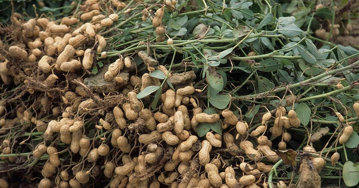 Выращивание земляного ореха (арахиса)