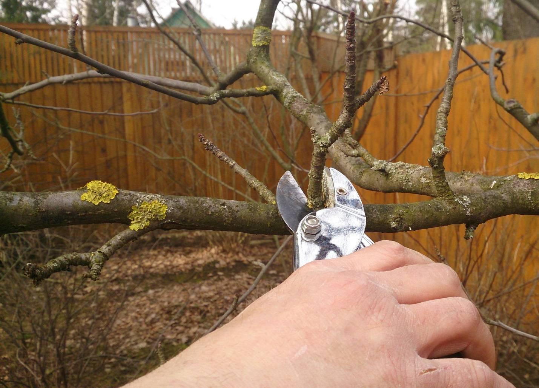 Обрезка яблонь осенью для начинающих: пошаговая инструкция с картинками