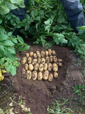 Описание картофеля королева анна: особенности, преимущества, реальные отзывы
