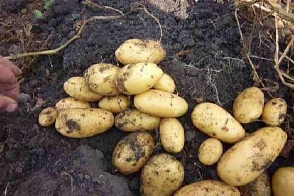 Описание сорта картошки королева анна, фото, отзывы