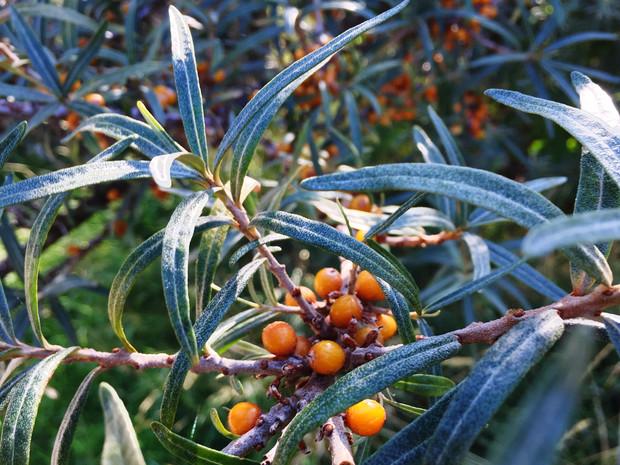 Листья облепихи на зиму: сбор и заготовка, профилактика растения от заболеваний