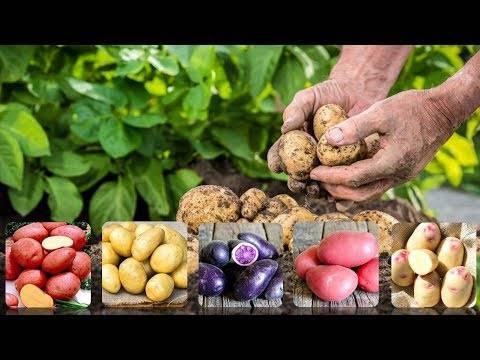 Картофель брянский деликатес описание сорта фото отзывы