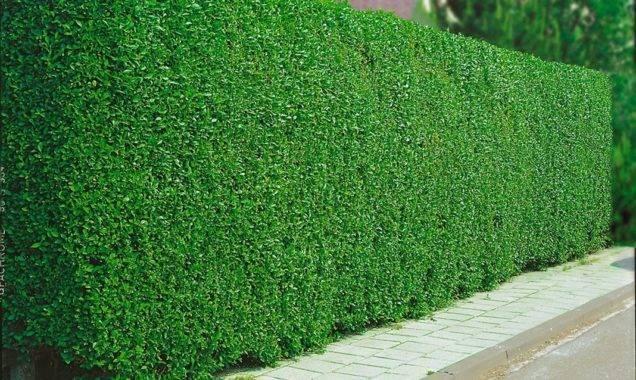 Бирючина обыкновенная – идеальный вечнозеленый кустарник для создания ландшафтных композиций