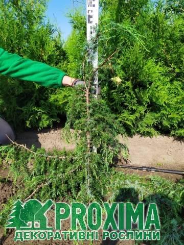 Можжевельник обыкновенный хорстманн: фото в ландшафтном дизайне