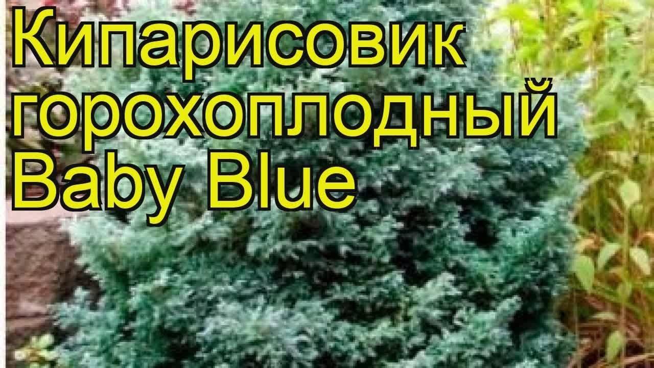 Растение кипарисовик: посадка и уход в открытом грунте, фото, виды и сорта, выращивание