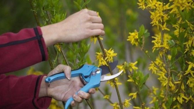 Правила размножения форзиции с помощью черенков летом, осенью, весной: как рассадить