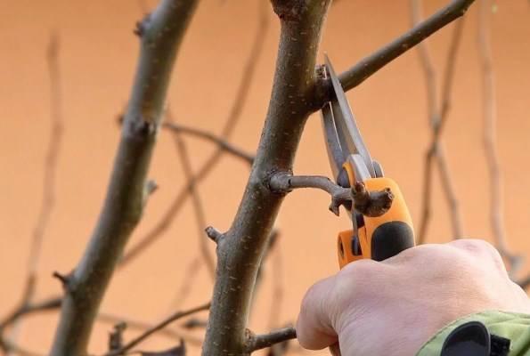 Подготовка крыжовника к зиме осенью: обрезка и уход