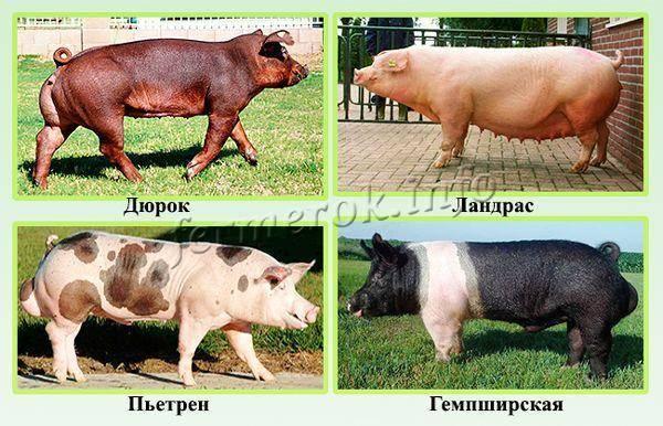Стандарты, особенности и преимущества беконных пород свиней