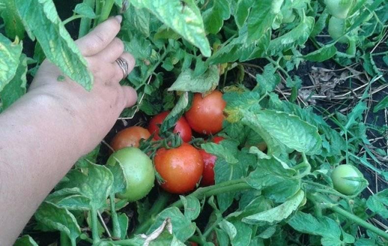 Неприхотливый гибридный сорт томатов бобкат: особенности посадки и выращивания