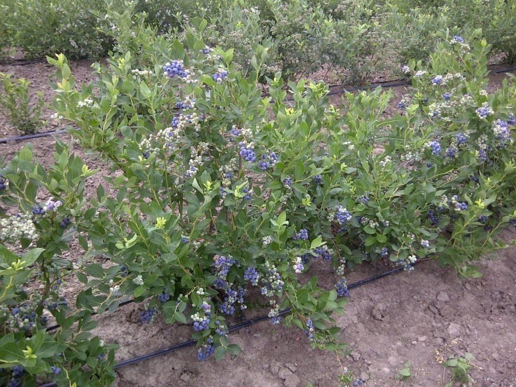 Садовая клюква – посадка и уход в масштабе дачного участка