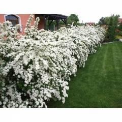 Спирея ниппонская - посадка и уход для длительного цветения - общая информация - 2020