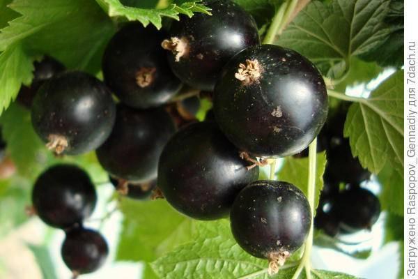 """Черная смородина """"багира"""": описание сорта, особенности выращивания и фото"""