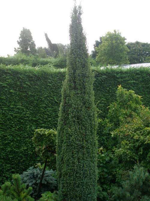 Можжевельник обыкновенный (juniperus communis)