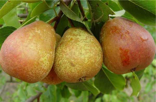 Груша старкримсон — описание сорта, фото, отзывы садоводов