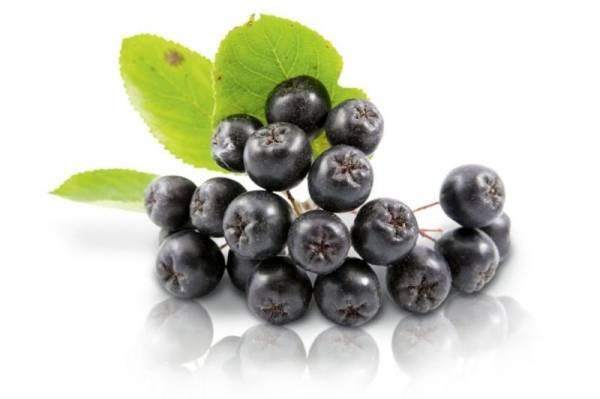 Полезные свойства и противопоказания рябины черноплодной