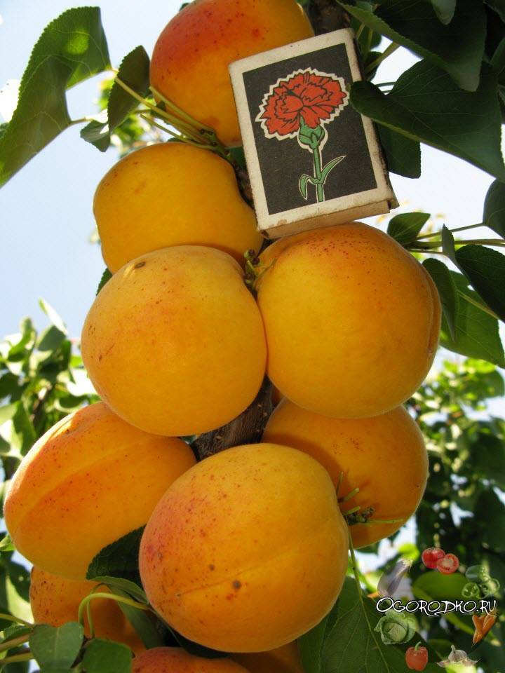 Описание сорта абрикоса среднего срока созревания графиня
