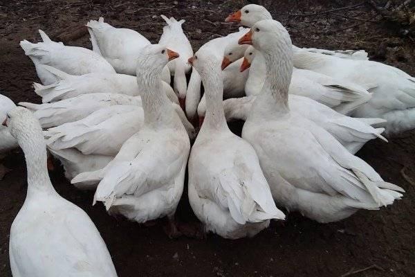 Содержание гусей легарт: описание и разведение датской породы