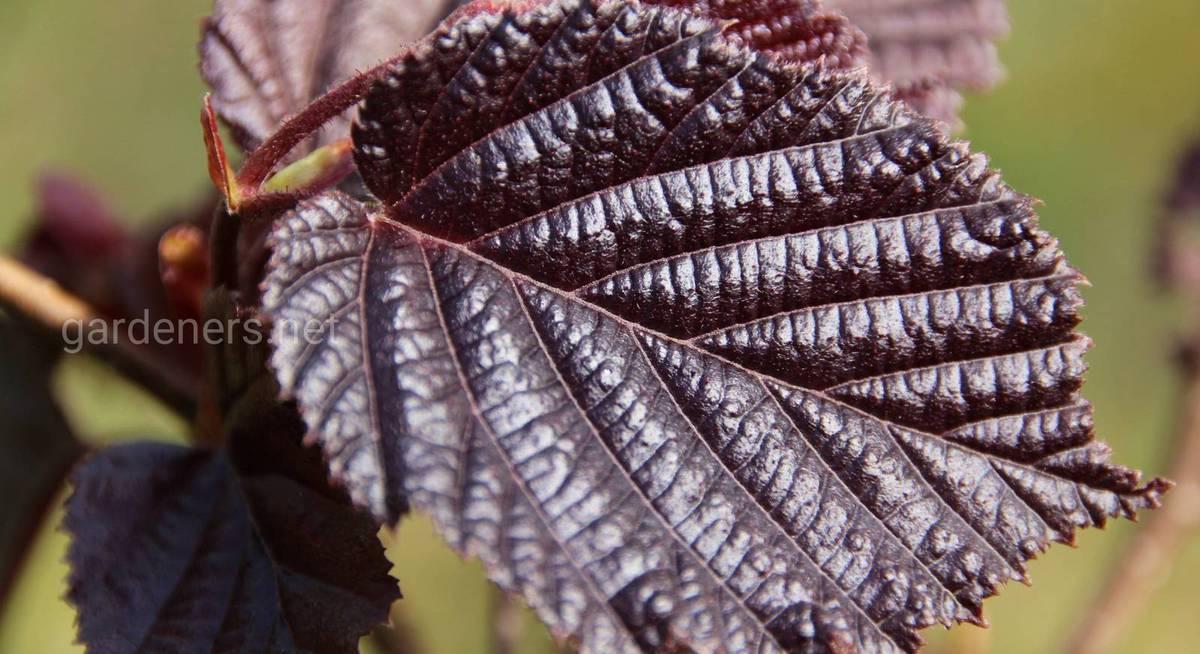 На дачном участке можно вырастить лещину разных видов