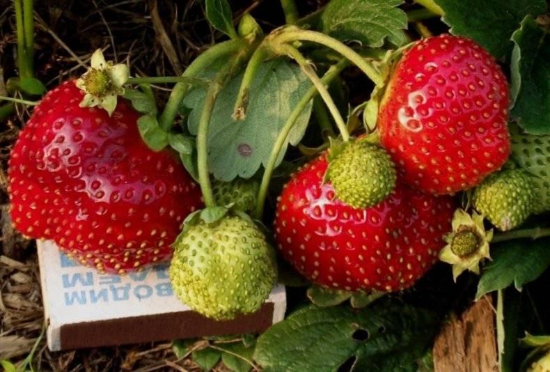 Клубника «капри» описание сорта — агротехника выращивания, ухода и посадки ягоды в открытом грунте (фото)