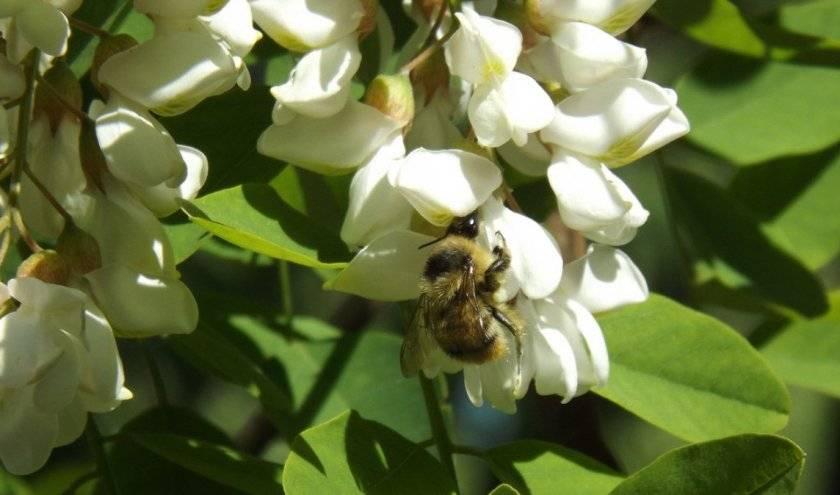 Выращивание софоры японской: посадка, размножение, использование