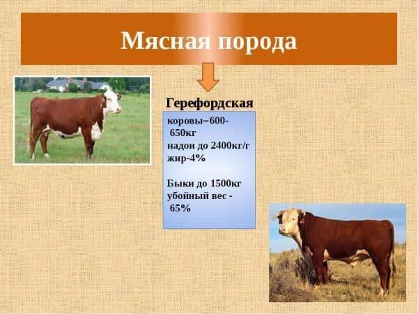 Содержание коров породы герефорд и их характеристики