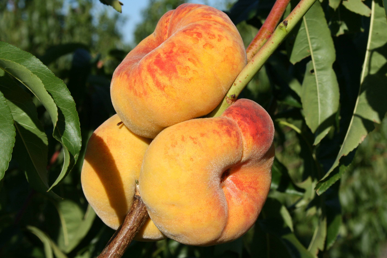 Описание сортов колоновидных персиков, их посадка и уход, правила агротехники