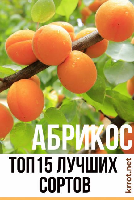 Абрикос россиянин: выносливый и урожайный сорт для средних широт