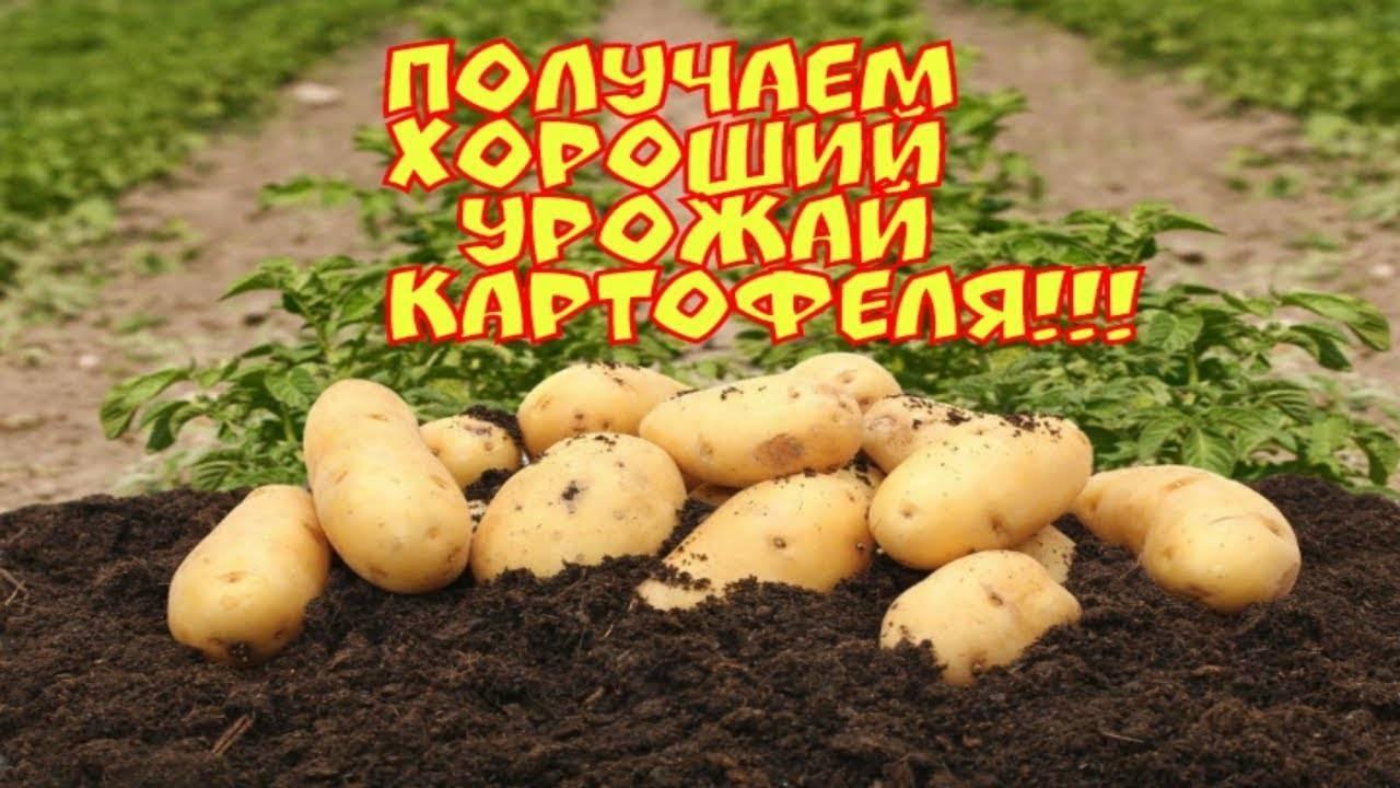 Сорт картофеля «краса»: описание, выращивание и уход