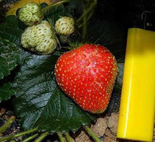 Клубника московский деликатес: правила выращивания голландского раннеспелого гибрида