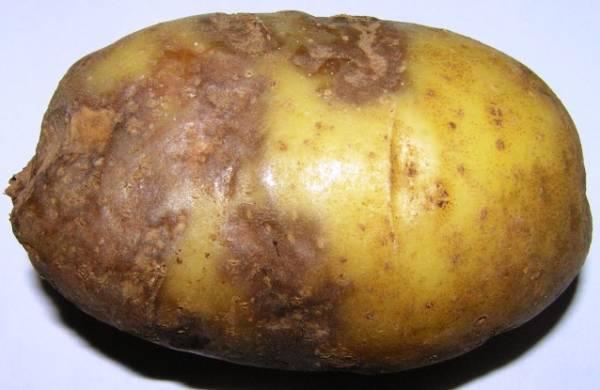 Фитофтороз картофеля: возбудители, профилактика и методы борьбы