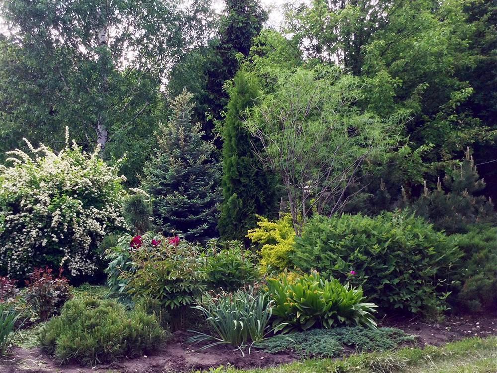 Виды и сорта низкорослых хвойников: 3 вида и 6 сортов