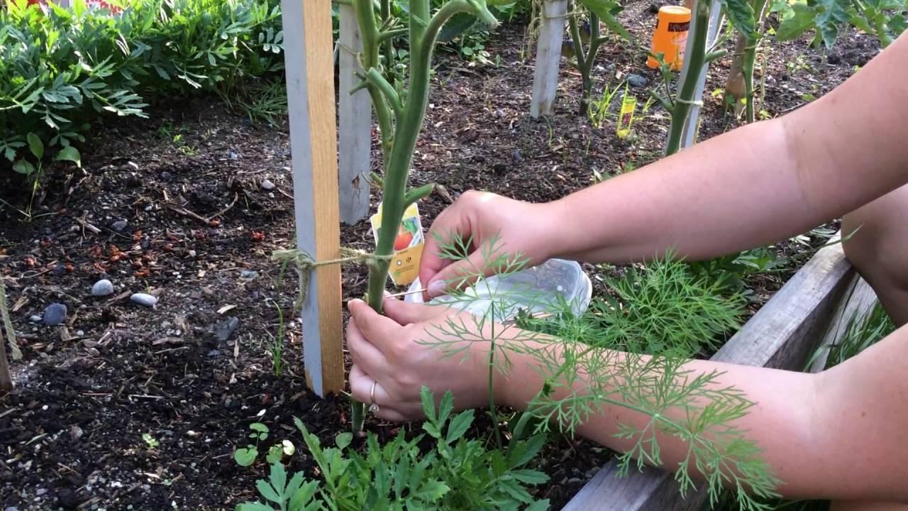 Медная проволока от фитофторы на помидорах: видео