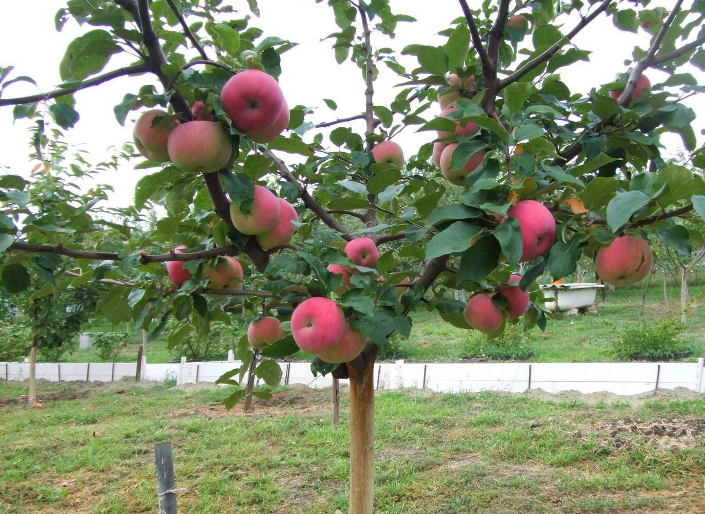 Описание и выращивание летней яблони мечта