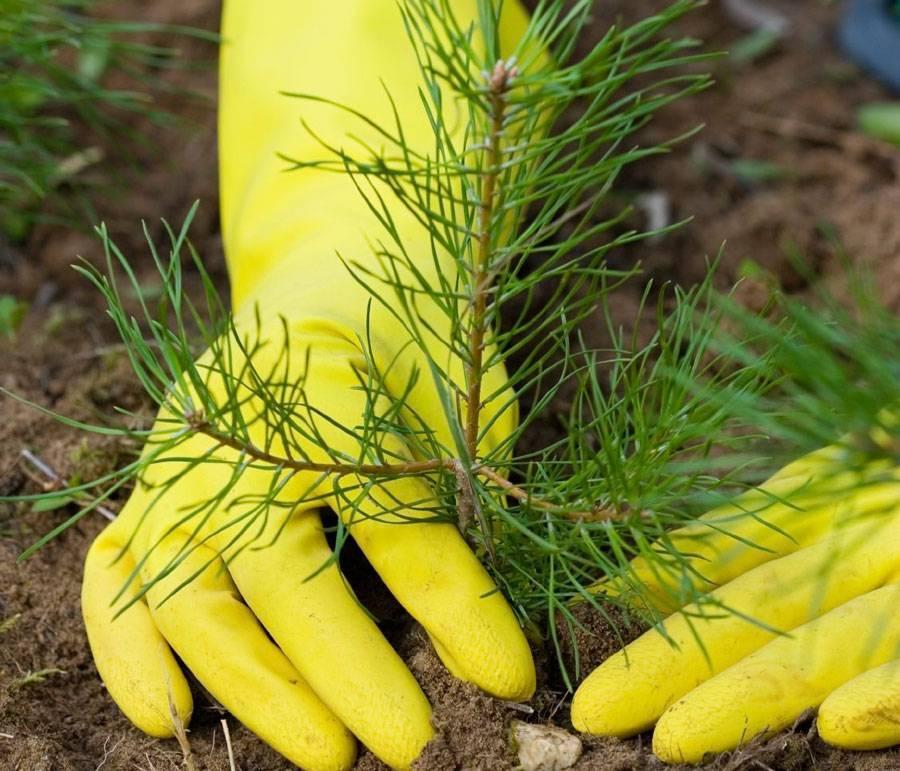 Сосна: уникальное дерево с огромным спектром применения (77 фото)