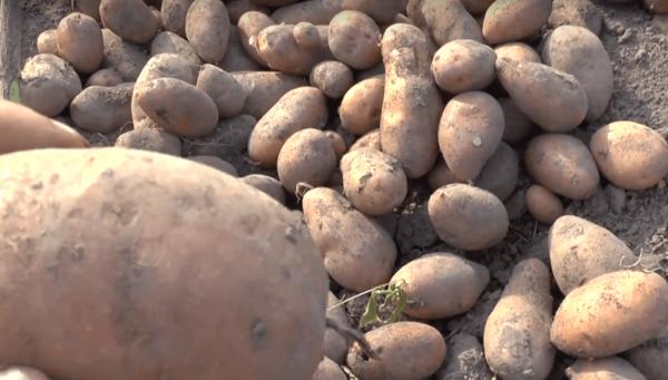 Лучшие голландские сорта картофеля