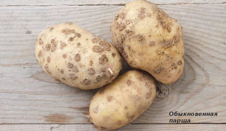 Болезни клубней картофеля: фото и описание