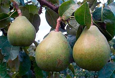 Груша брянская красавица: описание сорта