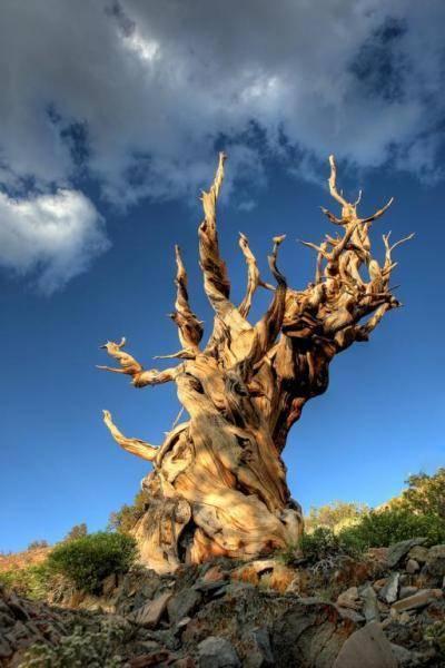 Генералы среди деревьев: 10удивительных фактов огигантских секвойях