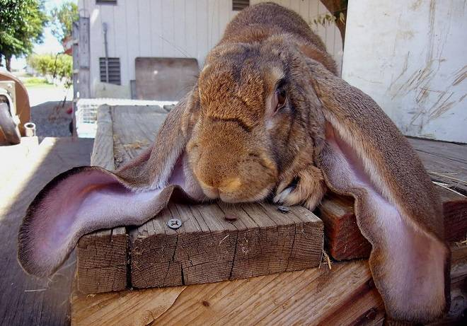 Болезни кроликов: симптомы и лечение