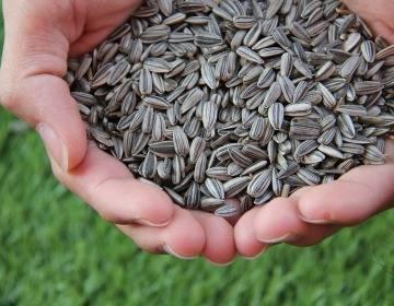 Можно ли семечки при грудном вскармливании: подсолнечные, тыквенные, кунжутные