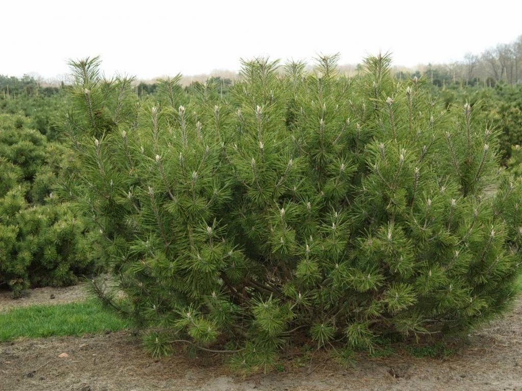 Сосна горная офир (pinus mugo ophir)