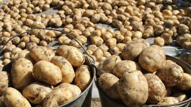 Сорт картофеля лабелла характеристика отзывы