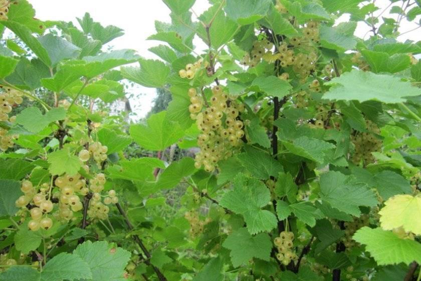 Белоплодный сорт красной смородины версальская белая – вкусные и полезные ягоды для всей семьи